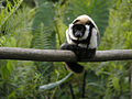 Juvenile Black-and-White Ruffed Lemur, Mantadia, Madagascar.jpg