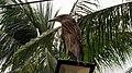 Juvenile Black Crowned Night Heron in Pasay 001.jpg