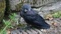 Juvenile Jackdaw - geograph.org.uk - 600831.jpg
