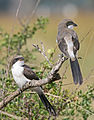 Juvenile Long-tailed Fiscals edit.jpg