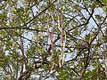 Kalakudo (Konkani- काळाकुडो) (2443263514).jpg