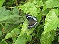 Kaniska canace viridis Evans, 1924 – Sahyadri Blue Admiral from Maloor, Peravoor (13).jpg