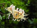 Kaprifol Lonicera caprifolium (20894240799).jpg