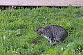 Katze beim Mäuse fangen.JPG