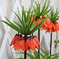 Kejsarkrona - Fritillaria imperialis (5668659833).jpg
