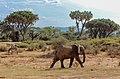 Kenya, Safari (45203939025).jpg