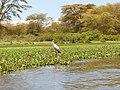 Kenya 2013. Lake Naivasha. - panoramio (3).jpg