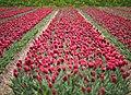 Keukenhof Red Tulips (27095104727).jpg