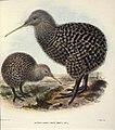 Keulemans, John Gerrard, 1842-1912 -Apteryx haastii. Potts. Adult (male); juv(enile, female). - J. G. Keulemans delt. T. Walter, lith. (1876) (21490647212).jpg