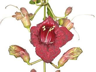 Kigelia - Open flower in panicle