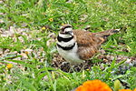 Killdeer on Eggs Portage la Prairie, MB 2.JPG
