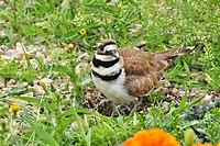 Killdeer on Eggs Portage la Prairie, MB 2.JPG