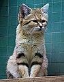 Kočka pouštní.jpg