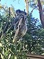 Koala 002.jpg