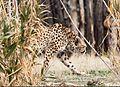 Kooshki (Iranian Cheetah) 01.jpg