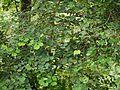 Korat (Konkani- कोरट) (3999716499).jpg