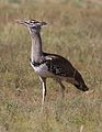 Kori bustard, Ardeotis kori, at Pilanesberg National Park, Northwest Province, South Africa (28723913805).jpg