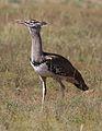 Kori bustard, Ardeotis kori, at Pilanesberg National Park, Northwest Province, South Africa (28723913805).jpg