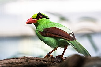 Cissa (genus) - Javan green magpie (Cissa thalassina)