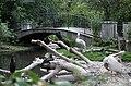 Krauskopfpelikan Pelecanus crispus Tiergarten Schönbrunn Wien 2014 a.jpg