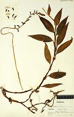 Kreodanthus elatus.jpg
