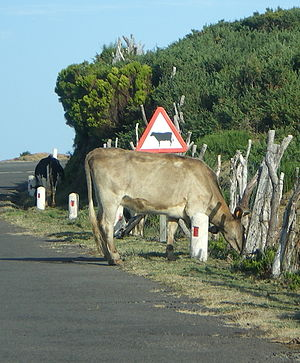 Traffic sign - Sign warning of cattle crossing in a rural road of Madeira island, Portugal