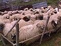Kuzular,koyunlar,koçlar. - panoramio.jpg