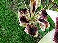Květ lilie s vosičkou.jpg