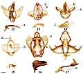 Lacosominae (10.3897-zookeys.815.27335) Figures 12–17.jpg