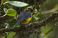 Lacrimose Mountain-Tanager - Colombia S4E2958 (22882330889).jpg