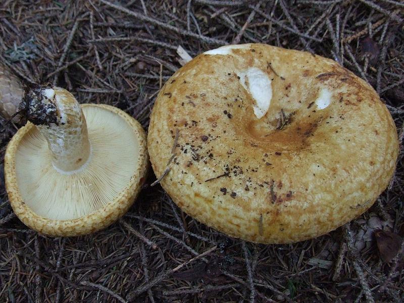 Plik:Lactarius scrobiculatus T66.jpg