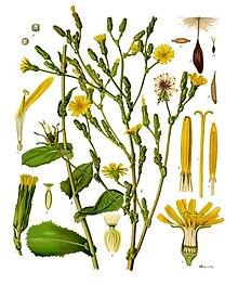 Lactuca virosa - Köhler–s Medizinal-Pflanzen-213.jpg