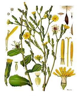 <i>Lactuca virosa</i> species of plant