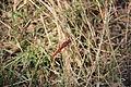 Laika ac Dragonfly (9724332795).jpg