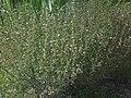 Lamiales - Satureja hortensis - 2.jpg