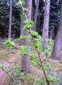 Larix kaempferi twig.JPG