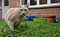 Larry the cat walking cautiously on grass in Auderghem, Belgium (DSCF2353).jpg