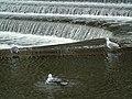 Larus fuscus y Larus argentatus.001 - Bath.jpg