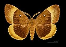 Lasiocampa quercus MHNT CUT 2011 0 446 Male Bassillac dos.jpg
