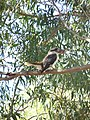 Laughing thief kookaburra.jpg