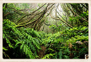 Laurel forest - Laurel forest in Tenerife (Anaga)