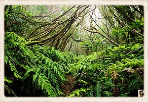 Laurel forest - Laurel forest in Tenerife (Anaga)