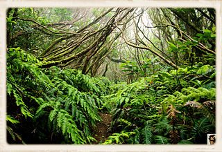 Laurel forest Type of subtropical forest