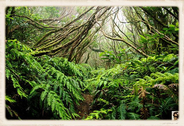 Thalassocène, un monde d'îles 640px-Laurel_forest