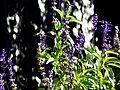 Lavendel - panoramio (1).jpg