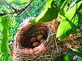 Le nid d'oiseau ( Fauvette à tête noire Sylvia atricapilla)sur larbre M'ZAIR JIJEL ALGERIA.jpg