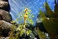 Leafy Sea Dragon (4289328368).jpg