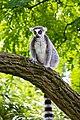 Lemur (36693249740).jpg