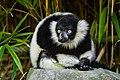 Lemur (36710122661).jpg