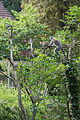 Lemur catta (Lémur catta) - 356.jpg